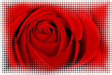 A Red Rose Macro With Halftone...