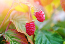 Two Ripe Raspberries On Bush I...