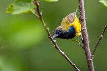 Olive-backed Sunbird In Nature