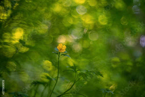 Photo Ranunculus acris (meadow buttercup, tall buttercup, common buttercup and giant b
