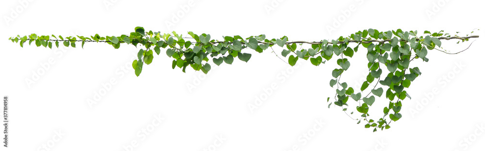 Fototapeta ivy plant hanging on electric wire isolate on white background