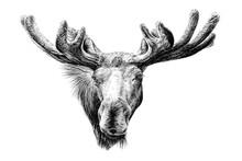 Hand Drawn Moose Portrait, Ske...