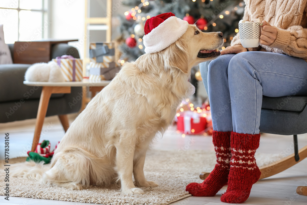 Fototapeta Cute dog with owner at home on Christmas eve