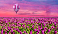 Lilac Color Tulip Flower Field...