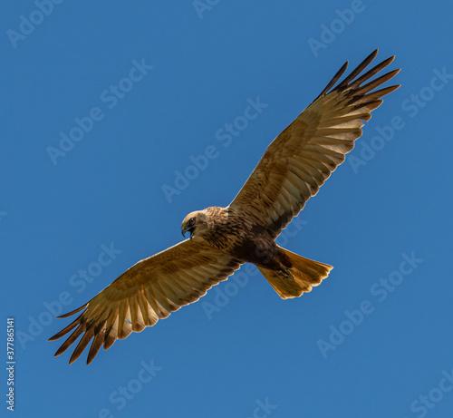 Fotografía western marsh harrier (Circus aeruginosus) bird of prey in flight