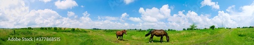 panorama with horses in the field, herd of horses grazing in the meadow in summe Fototapeta