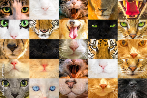 Foto Collage textures of cat faces and dogs and big felines for printing postcards or surgical face masks for covid-19 coronavirus