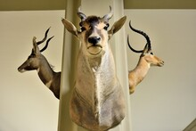Taxidermied Heads Of A Gazelle...
