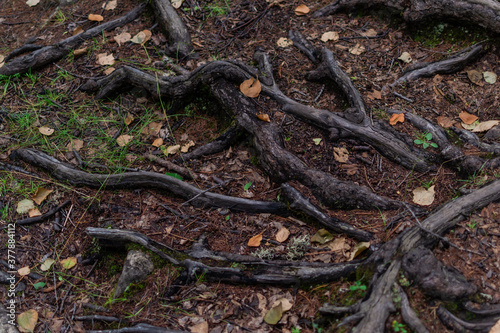 Foto brown shiny twisty tangled roots of tree in forest in damp ground with yellow dr