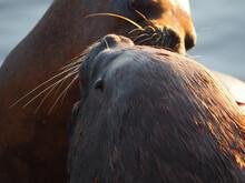 Closeup Portrait Of A Couple Of Sea Lions Cuddling
