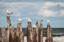 Seagulls Sitting On Wooden Wave Breaker. Europe, Lithuania.