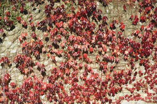 grounds of glastonbury abbey somerset england uk autumn leaves Canvas Print
