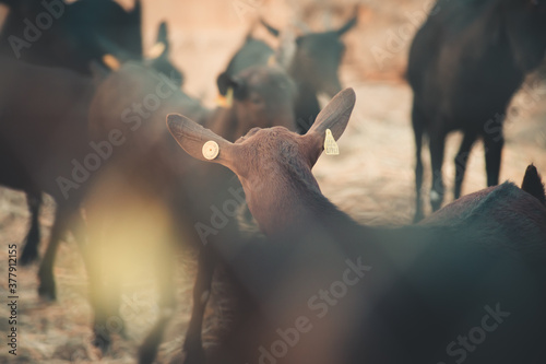 Fototapeta Caged goat looking back