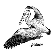 Waterfowl Pelican. Official State Bird Of Louisiana.