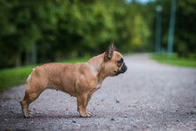 French Bulldog Posing Outside In Green Background. Purebreed Bulldog Standing