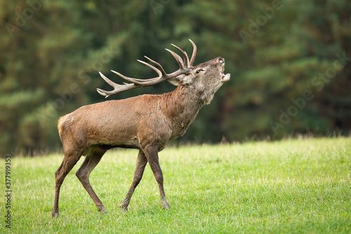 Territorial red deer, cervus elaphus, roaring on meadow in autumn. Majestic stag walking on rutting season on grassland. Wild animal with antlers moving with open mouth on field.