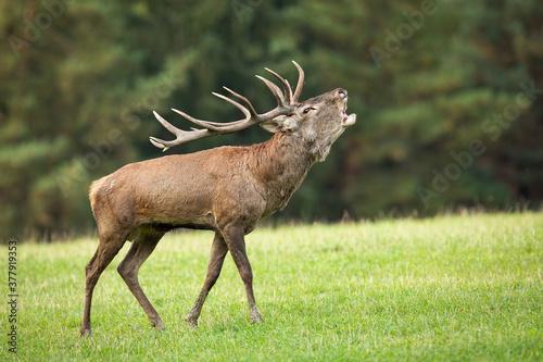 Valokuvatapetti Territorial red deer, cervus elaphus, roaring on meadow in autumn