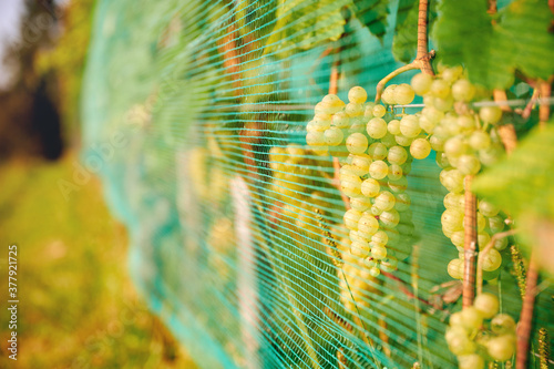 Grape vines covered with netting for protection from deer and birds