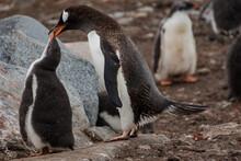 Gentoo Penguins (Pygoscelis Pa...