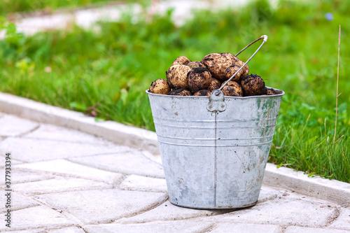 Metal bucket full of fresh potatoes #377933394