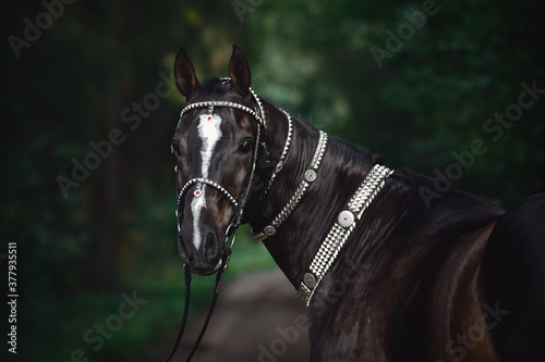 portrait of beautiful black akhal-teke horse with white line on forehead with tu Fototapeta