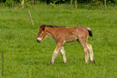 Photo Brown foal in a green meadow in the Flemish countryside
