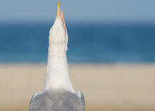 The Petrel Screams With Its Beak Open. Back View. Seagulls And Other Seabirds. Selective Focus.