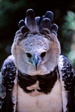 Salvador, Bahia / Brazil - March 29, 2009: Harpy Eagle Is Seen In Zoological In The City Of Slavdor.