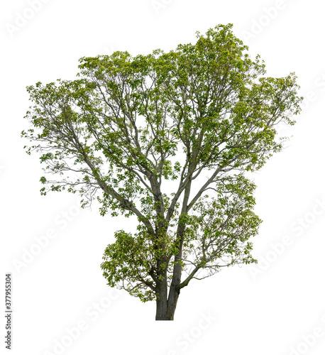 Valokuvatapetti Isolated plane tree on a white background