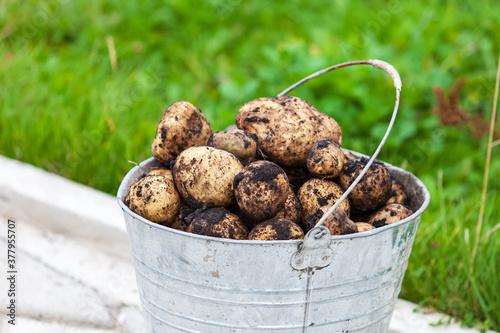 Metal bucket full of fresh potatoes #377955707