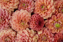 Beautiful Dahlia Flower Heads ...