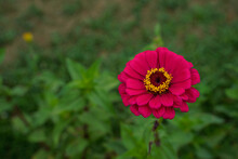 Single Dark Pink Zinnia Flower...
