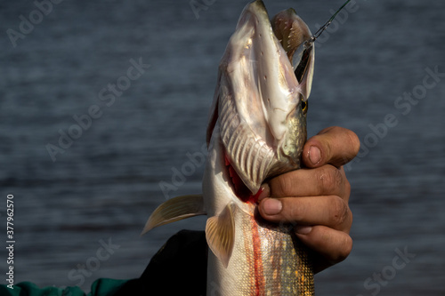 Photo A man's hand holds a pike caught on a spinning lure by the gills