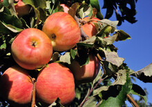 Close-up Of Ripening Red Organic Apples On Apple Tree Branch
