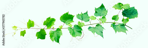 Obraz na plátně A branch of grapes on a white background