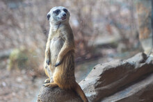A Meerkat In Guarding Stance Keeps Watch At The Zoo.