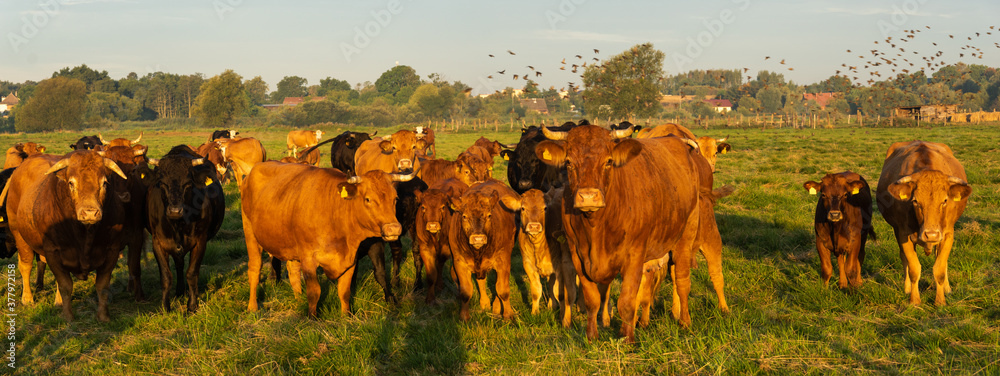 Fototapeta herd of beef cattle on a summer pasture