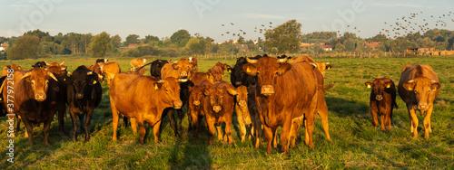 Fotografie, Obraz herd of beef cattle on a summer pasture