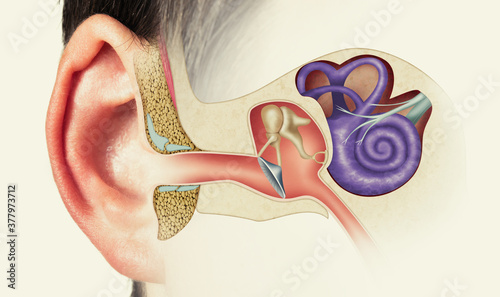 Fotografie, Obraz The anatomical structure of the human ear. Image