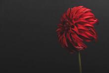 Exotic Red Dahlia Flower Isola...