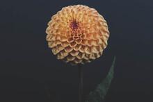 Exotic Orange Dahlia Flower Isolated On Black Background