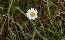 Closeup Of Oxeye Daisy