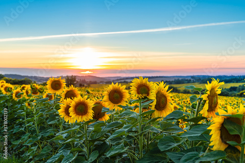 Obraz na plátne Sunflower field in the Midwest in full bloom at sunset in France