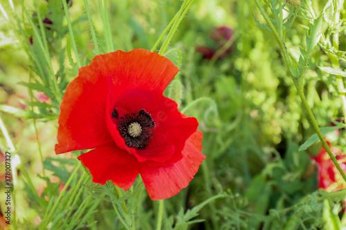 Fototapeta Beautiful red poppy flower in field, closeup obraz