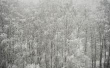 Snowy Trunks Of Birch Trees In...
