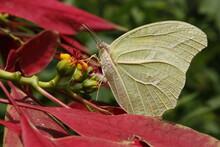 Mariposa Albina
