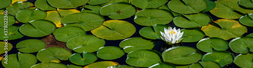 White lotus flowers blooming in a lake with lily pads, as a nature background Canvas-taulu