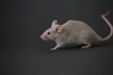 灰色のネズミ