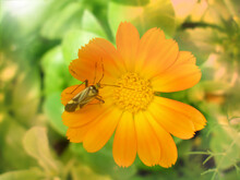 Wild Orange Flower With Insect Beetle On Petals