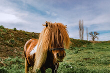 Brown Shetland Pony Grazing On...